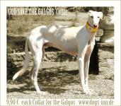 GOD SAVE THE GALGOS Collar