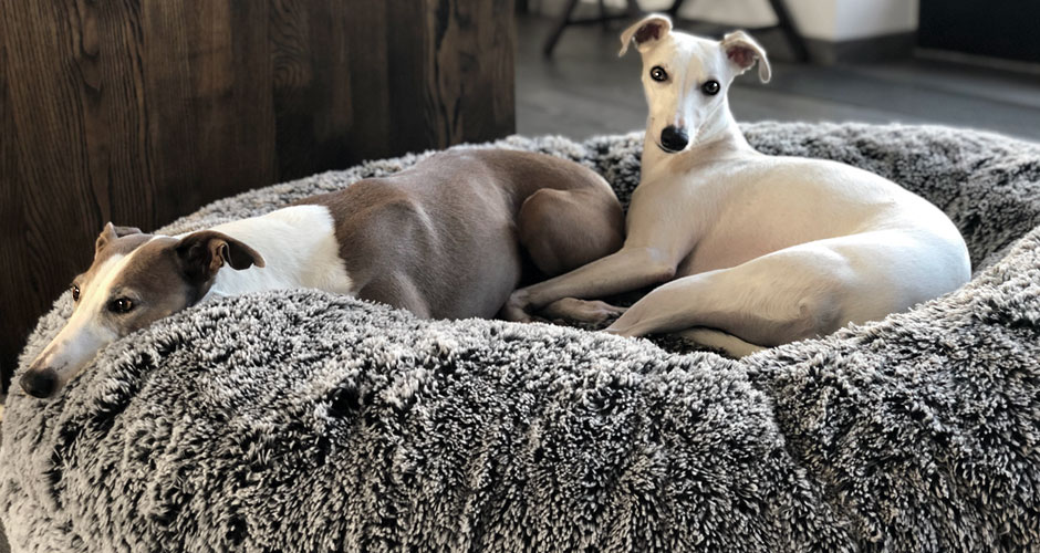 HERBST  3   Banner   Whippets  Black/Creme
